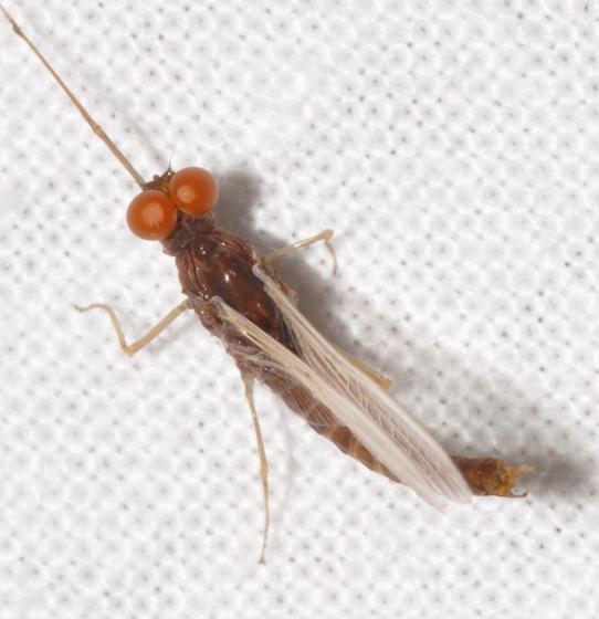 Mayfly - Ephemerella - male