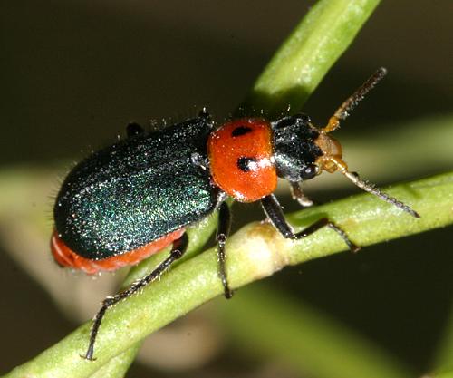 Soft-winged Flower Beetle - Collops bipunctatus - female