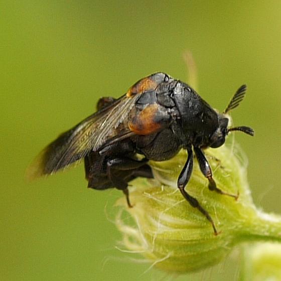 beetle - Ripiphorus - female