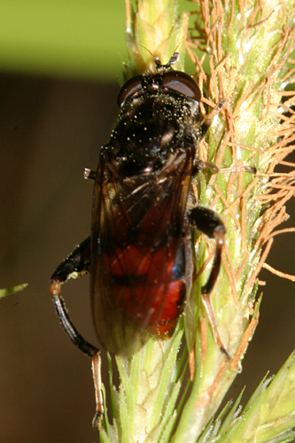 Syrphid - Chalcosyrphus libo - female