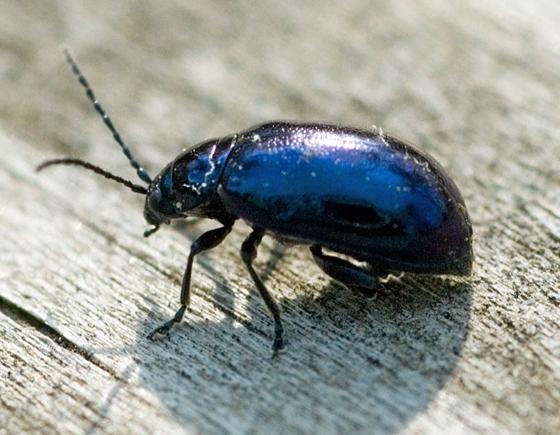 flea beetle - Altica