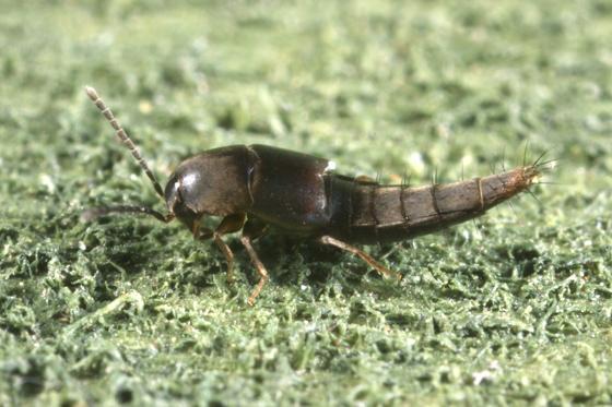 Rove Beetle - Sepedophilus