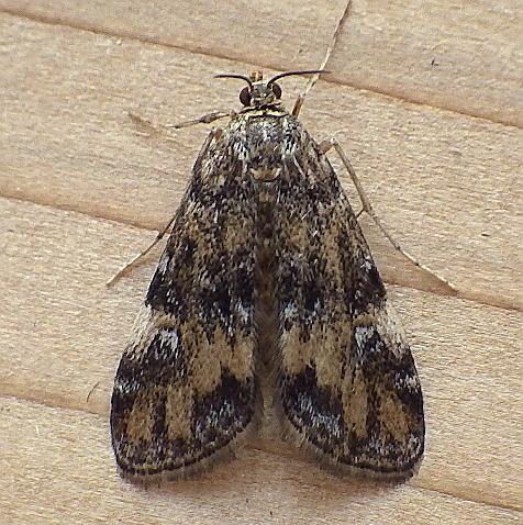 Crambidae: Elophila obliteralis - Elophila obliteralis