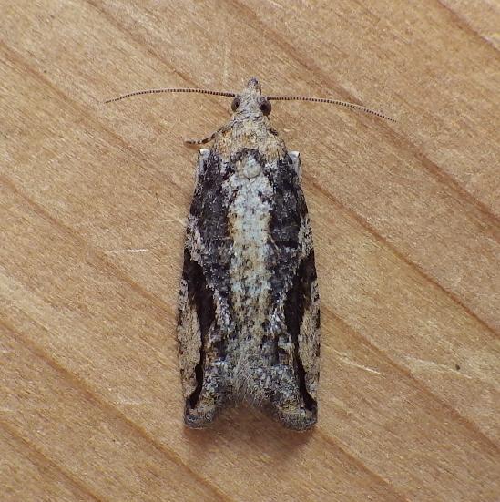 Tortricidae: Proteoteras crescentana - Proteoteras crescentana