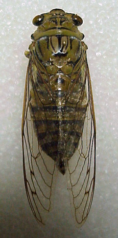 Giant Cicada - Quesada gigas - male