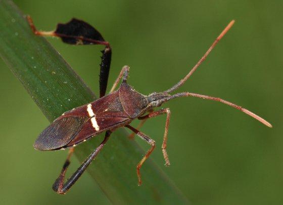 Line bug - Leptoglossus phyllopus