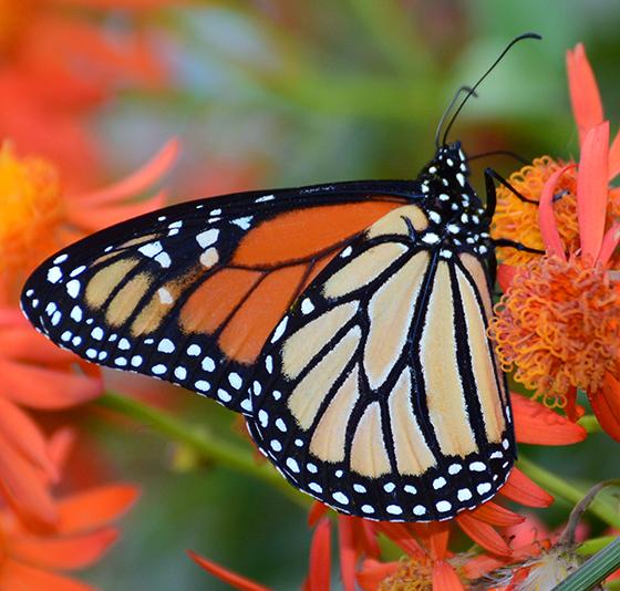 Danaus plexippus - Monarch - Hodges#4614 - Danaus plexippus