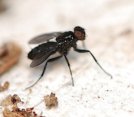 Woodlouse Fly - Melanophora roralis - male