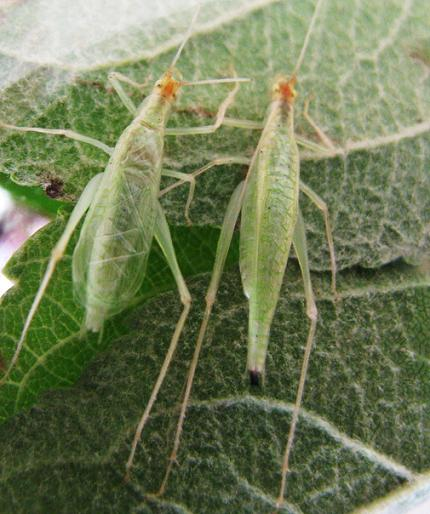 Side by side comparison of Narrow-winged male and female - Oecanthus niveus - male - female