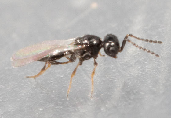 Tiny Fly Look Like Ant Platygaster Bugguide Net