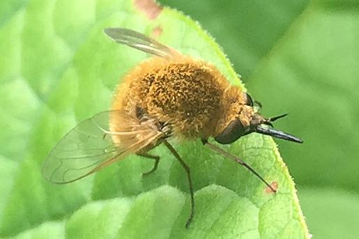 Bombyliidae - Sparnopolius confusus