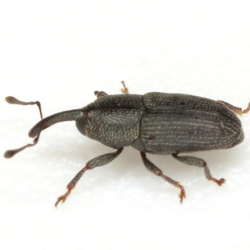 Apinocis deplanatus?? - Apinocis