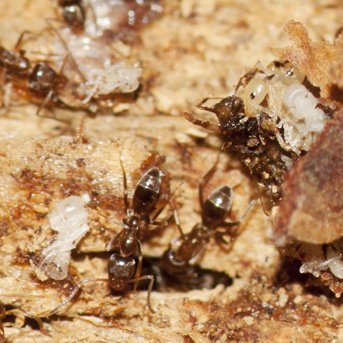 Argentine Ants - Linepithema humile