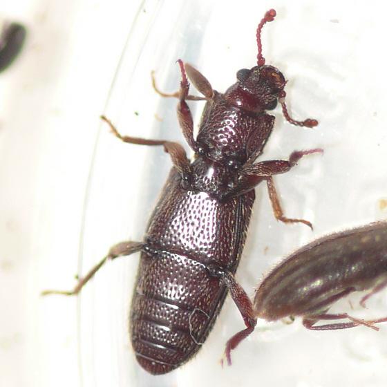 Dry bark beetle - Bothrideres cryptus