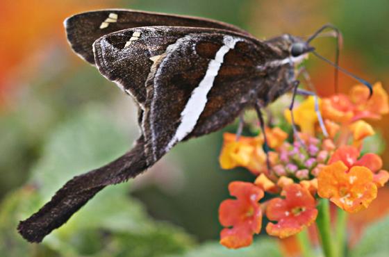 White-striped Long-tailed Skipper - Chioides albofasciatus