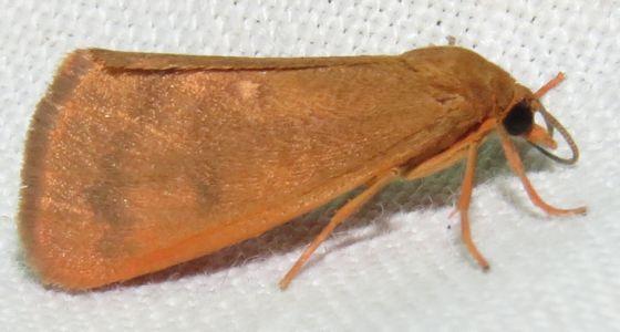 Orange Holomelina - Hodges#8121 - Virbia aurantiaca