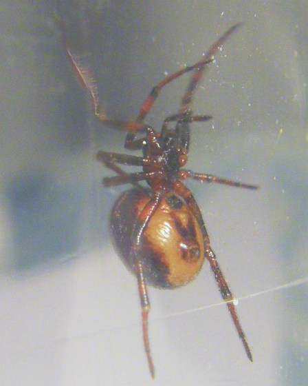 Black spider - Steatoda bipunctata