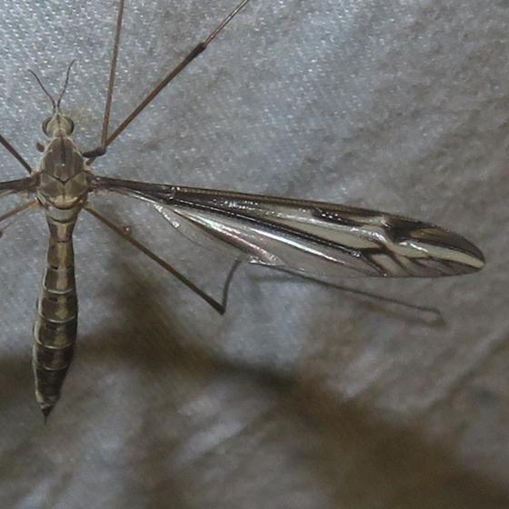 Crane Fly - Tipula