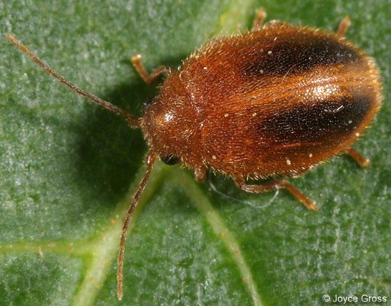 beetle - Prionocyphon limbatus