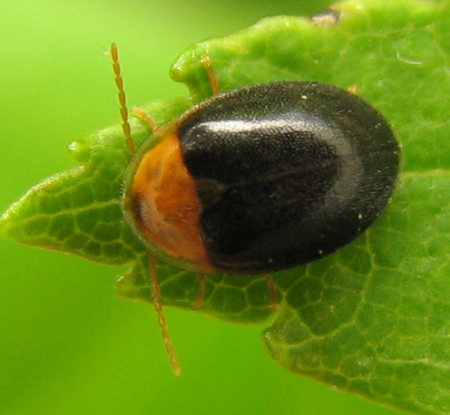 Black and red little beetle - Sacodes thoracica