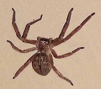 Texas Size Spider Q - Olios giganteus
