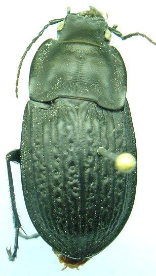 D.sculptilis - Dicaelus sculptilis