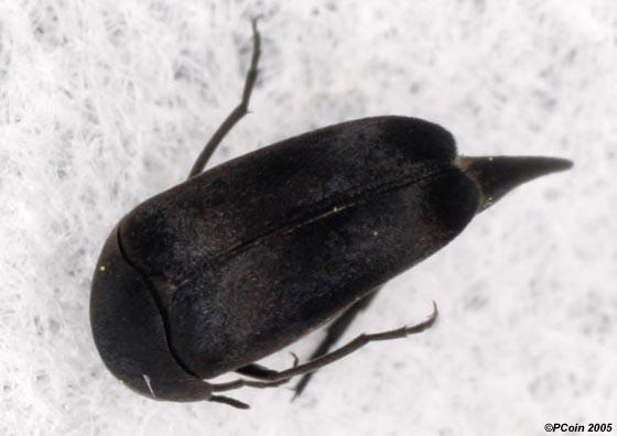 Tumbling Flower Beetle - Mordella