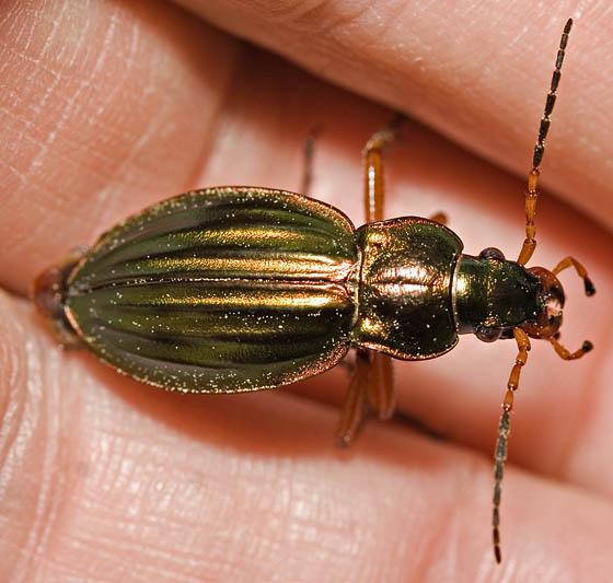 Green Beetle - Carabus auratus