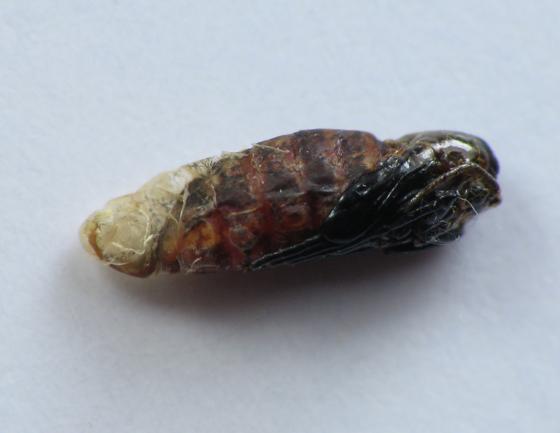 Another bunch gall fly - Rhopalomyia solidaginis - female