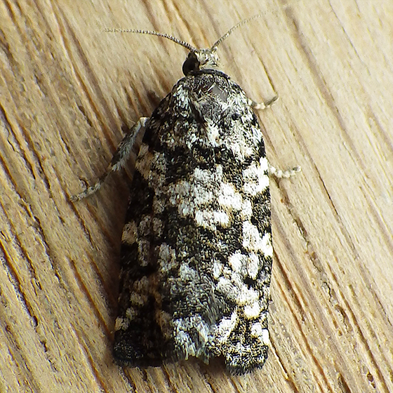 Spring Spruce Needle Moth (Archips packardiana)  - Archips packardiana