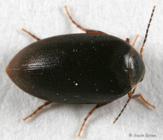 beetle - Nycteus infumatus