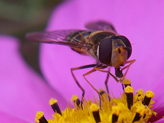 Syrphid Fly - female