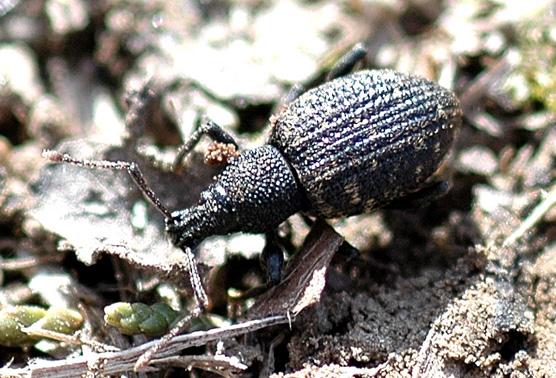 Weevil sp. - Otiorhynchus sulcatus