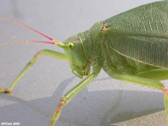 Common True Katydid - Pterophylla camellifolia - female