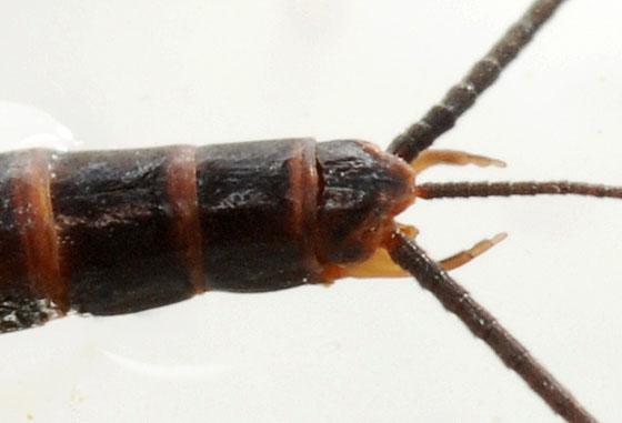 early brown skimmer - Leptophlebia cupida - male