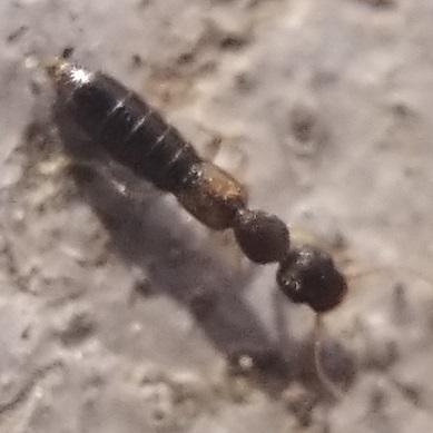 Long, Thin Rove Beetle - Astenus