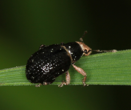 little black & brown beetle - Strophosoma melanogrammum