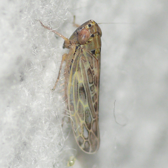 Leafhopper 09.08.02 - Endria inimica