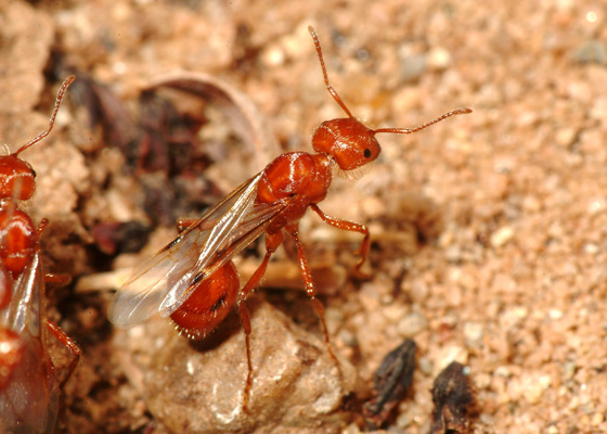 Winged female - Pogonomyrmex californicus - female