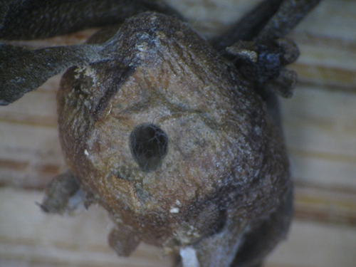 Rhopalomyia californica gall with odd hole - Rhopalomyia californica