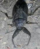 Unknown Beetle (At least to us) - Lethocerus americanus
