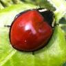 Ladybug beetle look-a-like - Anatis lecontei