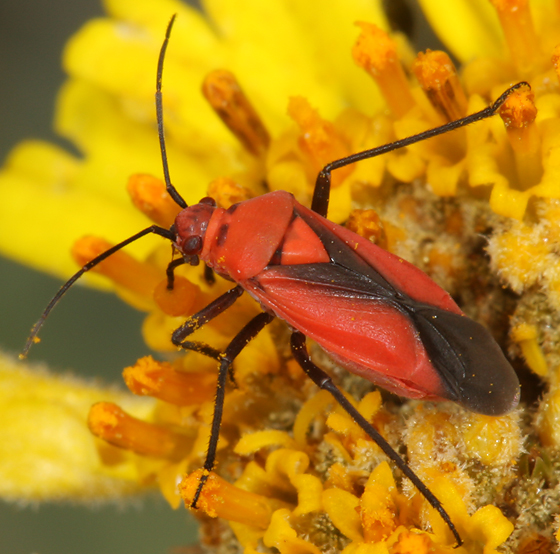 red and black bug - Oncerometopus nigriclavus