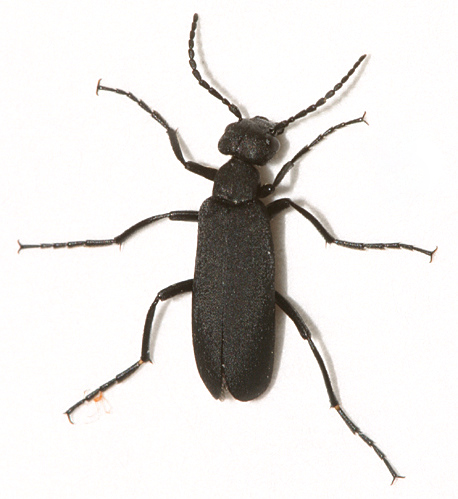 Black Blister Beetle? - Epicauta pennsylvanica