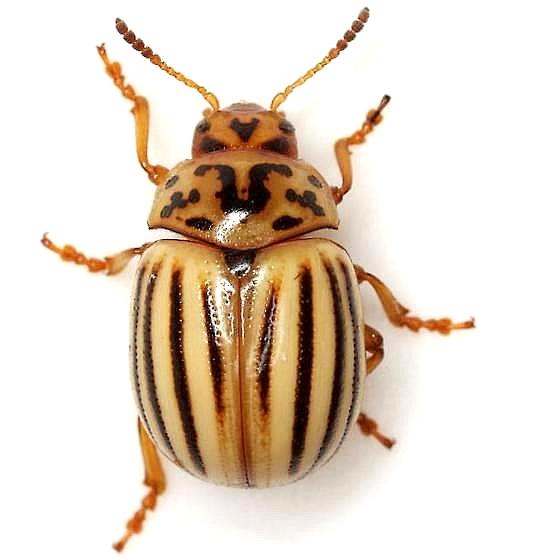 Leptinotarsa texana Schaeffer - Leptinotarsa texana