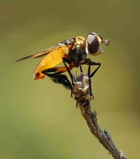 Trichopoda pennipes? - Trichopoda pennipes - male