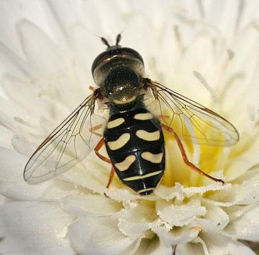 Bee or fly? - Eupeodes volucris - female