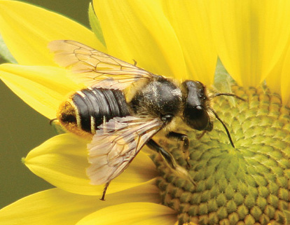 Bees of the Week: genus Megachile | The Bees' Needs