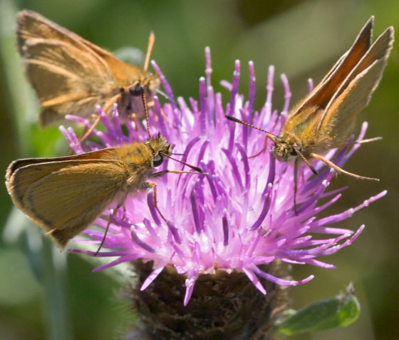 Butterflies 'Eating' - Thymelicus lineola