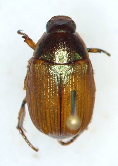 Anomala marginata - Callistethus marginatus